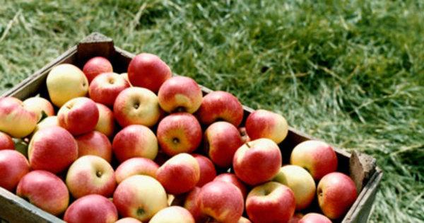 Comer maçã todos os dias melhora saúde do coração em um mês ...
