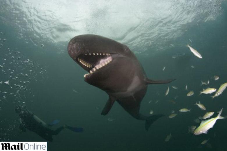 Ela se assemelha fisicamente com a baleia orca, o que pode lhe render o apelido de assassina. Mas bastam algumas braçadas ao lado desse gigante marinho para ver que de violente ele não tem nada. Trata-se do animal mais sorridente do fundo do mar