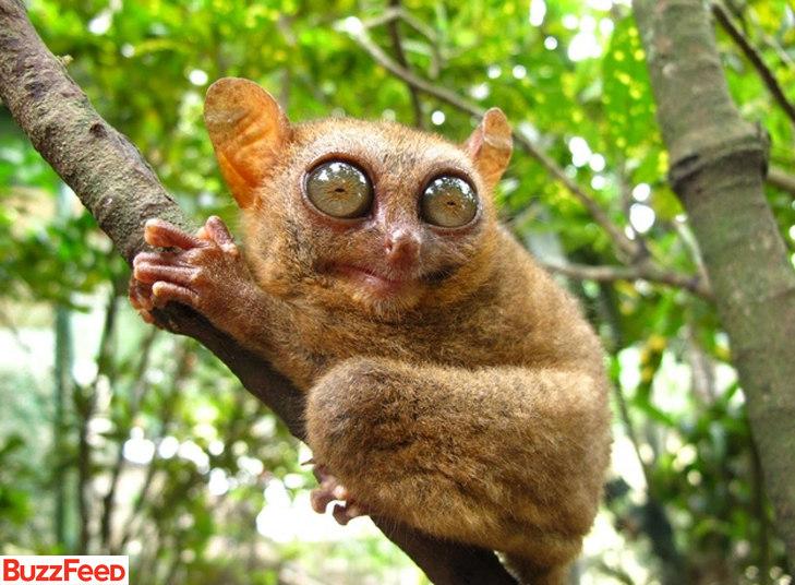 Para que olhos tão grandes? Para te ver melhor, é claro! Animal de hábito noturno, o tarsier salta de árvore em árvore pela floresta em busca de insetos