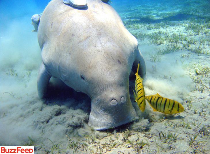 Os peixes-bois, também conhecidos como vacas-marinhas, vivem 'pastando' debaixo d'água