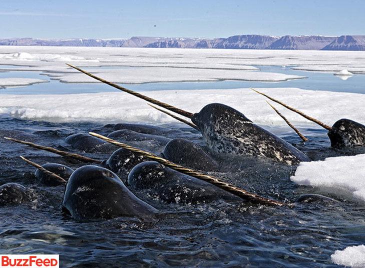 Essas baleias têm um belo e enorme dente, dando esse ar de espada ou chifre. Dá para elas se disfarçarem de rinoceronte ou unicórnio