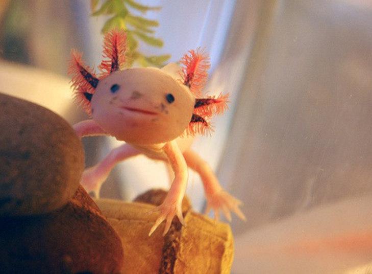Podem falar o que quiser, mas não dá para negar que a salamandra mole mexicana tem uma cara bem simpática