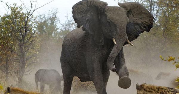 Com meu bebê, não! Elefantes tentam proteger filhote de ataque de ...
