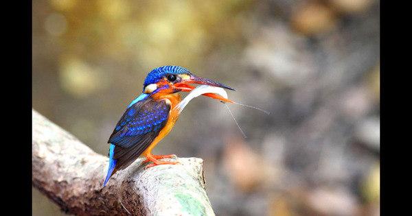 Pássaros que mergulham para pescar dão espetáculo na natureza ...