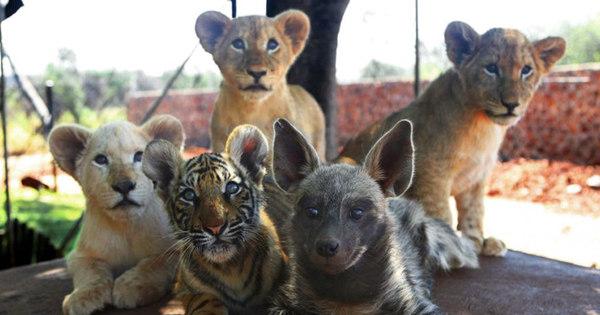 Leão, tigres e hienas abandonados vivem juntos em cativeiro como ...