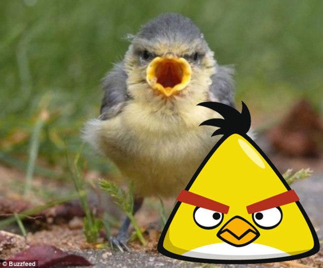 Esses passarinhos aparecem com bicos abertos e com seus olhinhos semicerrados e parecem bem bravos!