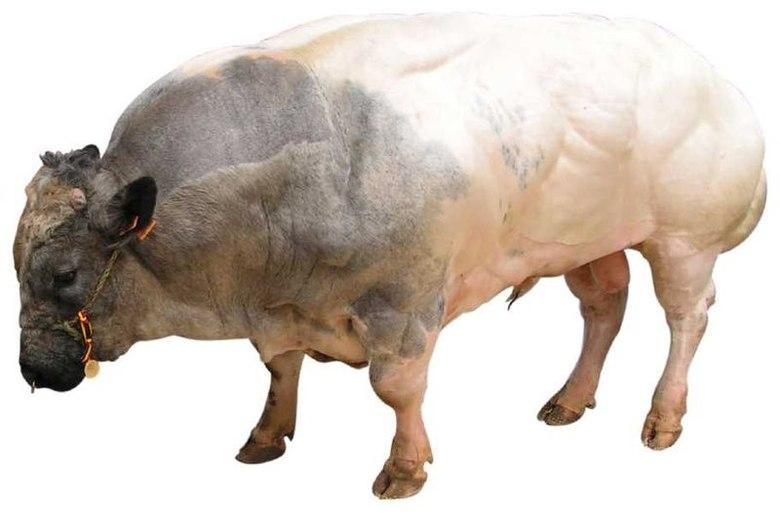 Alguns machos da espécie podem chegar a pesar mais de uma tonelada!