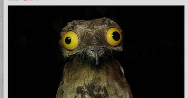 Buuuu! Conheça o urutau, o pássaro que vive sempre com cara de ...
