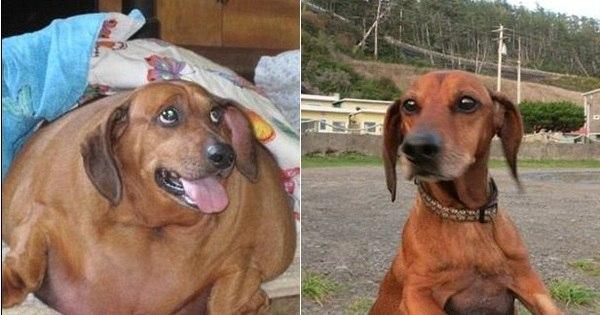 Ele é ex- obeso! Cachorro emagrece 23 kg após um ano de dieta ...