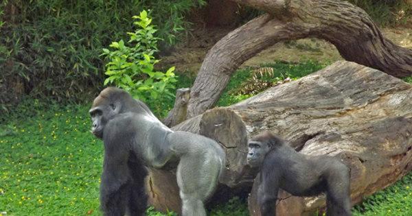 Novo casal de gorilas do zoológico de BH poderá ser visto a partir ...
