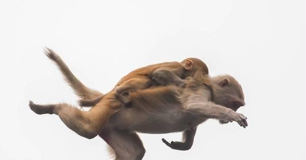 Adrenalina! Macacos voam juntos para escapar de jacarés na Flórida