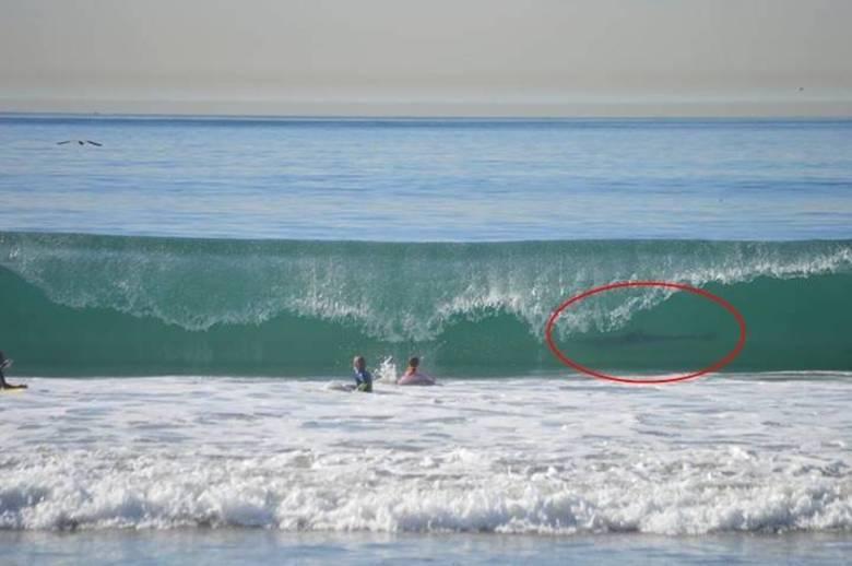 Perigo escondido: ao rever as fotografias que fez do filho, que surfava na praia de  Manhattan Beach, em Nova York, na última sexta-feira (27), a americana  June Emerson ficou assustada ao perceber que uma das fotos revelou um  grande tubarão-branco Leia mais