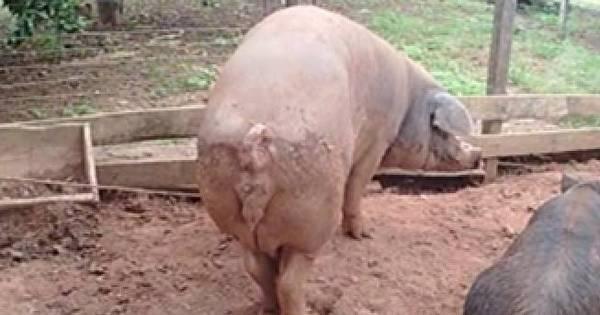 Porcos matam tarado que estuprava leitoa em MT - Fotos - R7 ...