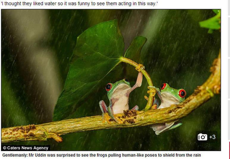 Debaixo de tempestade, um sapinho esperto protegeu sua companheira da chuva, usando uma folha como guarda-chuva