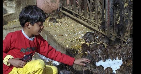 Estranha fé: ratos são adorados como deuses em templo na Índia ...