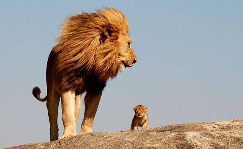 Mufasa e Simba, são vocês?!
