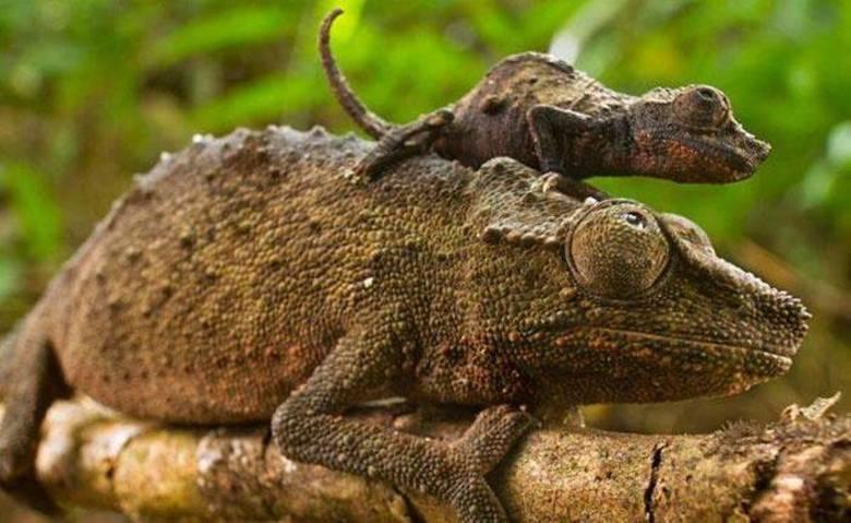Nem a mamãe lagarto está livre de carregar a cria nas costas!