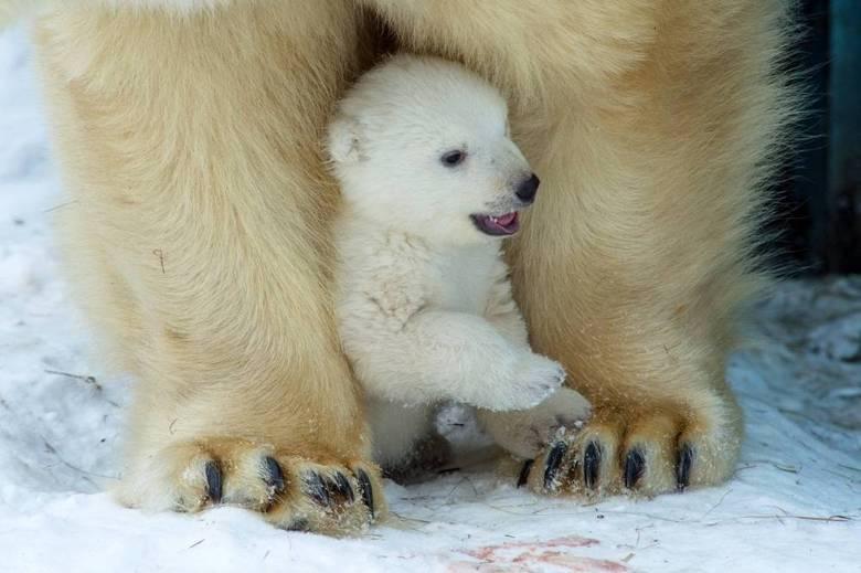 No zoológico de Novosibirsk, na Rússia, a mamãe ursa tirou o dia para mimar o seu filhote