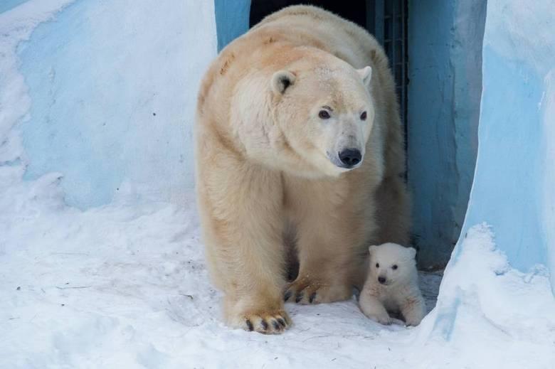 O urso polar é considerado um dos maiores carnívoros terrestres