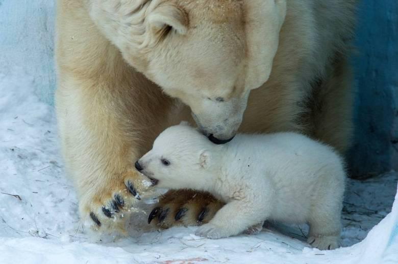 O primeiro filhote dos ursos polares Kai e Gerda veio ao mundo em dezembro de 2013