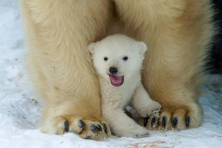 Segundo a União Internacional para a Conservação da Natureza e dos Recursos Naturais, o urso polar está classificado como espécie vulnerável