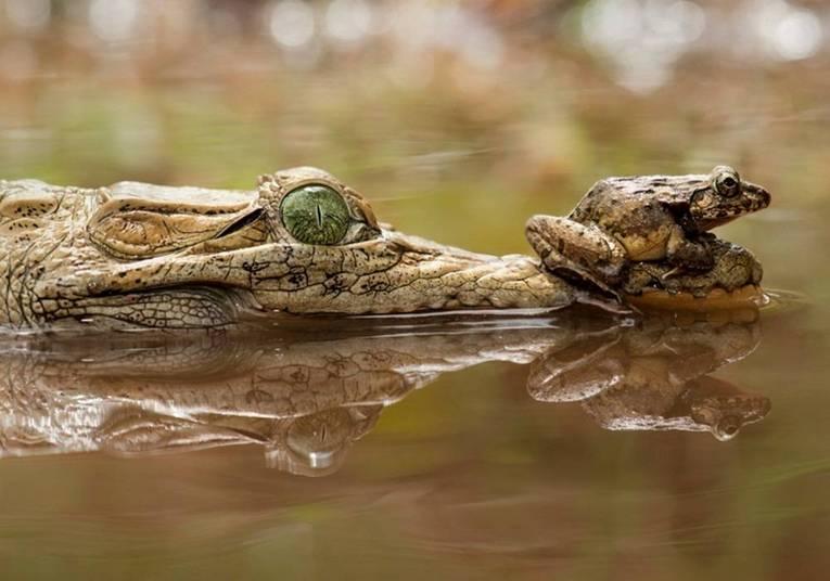 E nem mesmo quando o crocodilo fechou o bocão o sapinho sentiu medo!