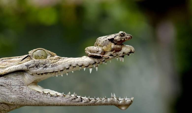 Um sapo pra lá de destemido resolveu descansar em um lugar bem perigoso: o nariz de um crocodilo