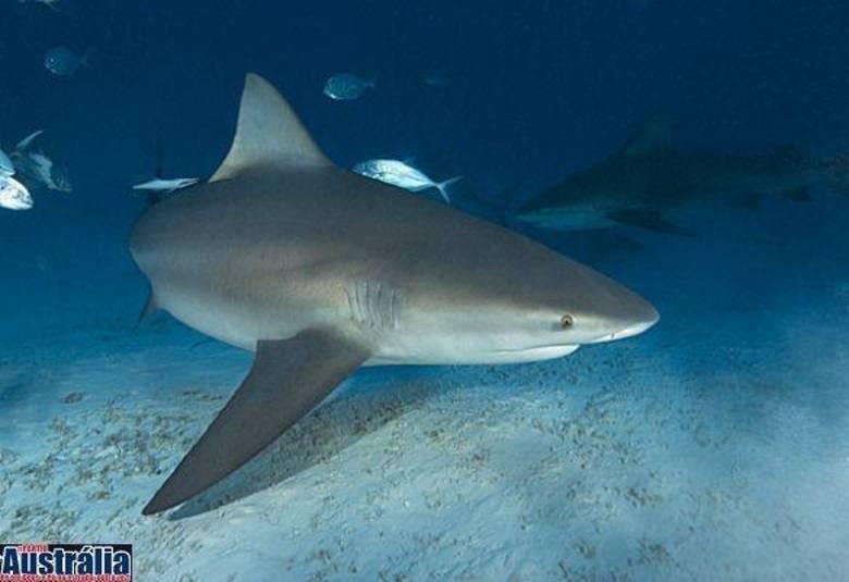 Esse é o tubarão touro (Carcharhinus leucas). Na Austrália, tubarões são terrivelmente temidos, já que os ataques são comuns por lá. Nas praias, há sempre avisos sobre locais proibidos de nadar e salva-vidas. Essa espécie de tubarão costuma ter em torno de 2m, chegando até 3m. A mordida dele é uma das mais fortes que existem!