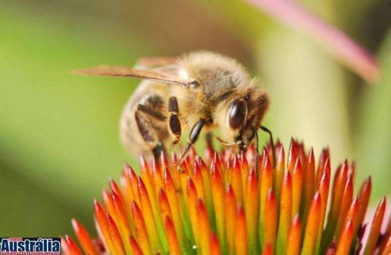 A abelha europeia do mel (Apis mellifera) não é tão dócil quanto parece. Fofinha sim, mas ela pode ser bem perigosa se você tem alergia ao veneno. Elas deixam uma espécie de saco de veneno na vítima, juntamente com o ferrão