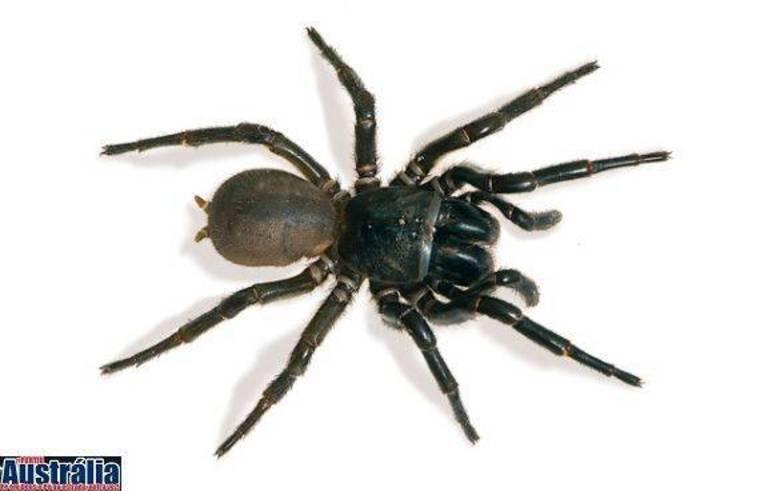 Nós apresentamos Atrax robustus, mais conhecida como Sydney funil web: a aranha mais perigosa do país. Ela é dona de um veneno letal produzido em grande quantidade. A bichinha é mesmo perigosa e é bem famosa nas florestas, no estado de New South Wales, mas nada impede que ela seja encontrada em qualquer lugar. Até mesmo no quintal da sua casa...