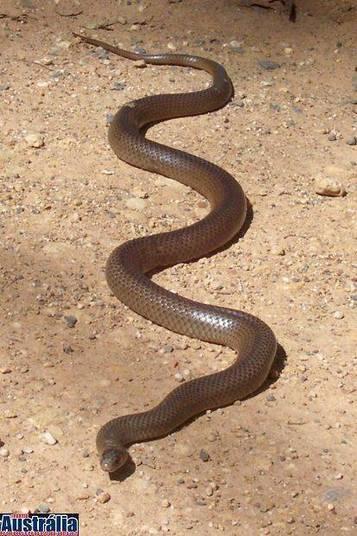 Esse é o tipo de cobra que levanta e abre aquela boca enorme quando vai atacar. O veneno atrapalha toda a coagulação sanguínea e, em apenas poucos minutos, pode levar à morte! Lembrando que você pode encontrar cobras e aranhas em áreas urbanas, até mesmo no quintal de casa.