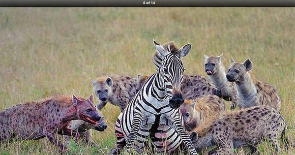 Vida selvagem! Hienas devoram zebra prenha no Quênia - Fotos ...