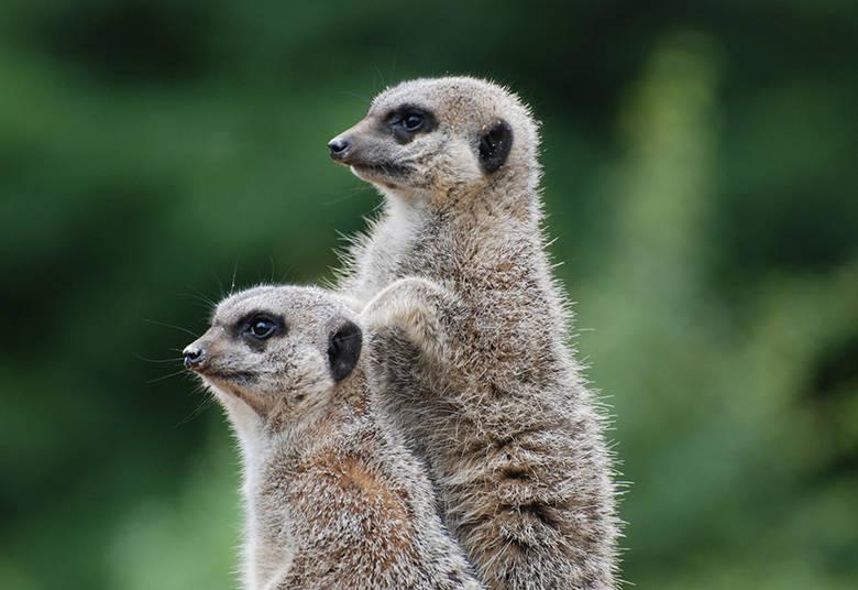 Os suricatos observavam juntinhos o horizonte