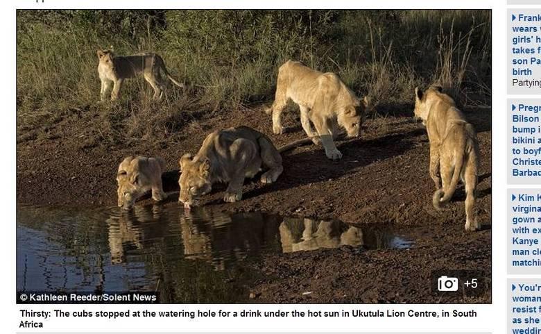Uma família de leão passou por um susto daqueles. Eles estavam matando a sede em um lago quando foram surpreendidos pela chegada de um crocodilo