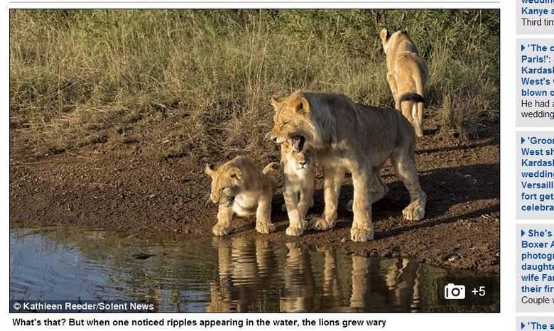 As fotos, publicadas pelo jornal britânico Daily Mail, foram tiradas em um safári pela África do Sul. A primeira reação dos animais ao ver a ondulação na água foi rosnar