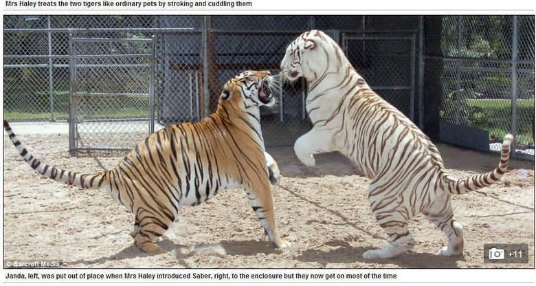 Saber, o tigre mais jovem, não consegue dormir sem antes tomar mamadeira e o boa noite de Janice
