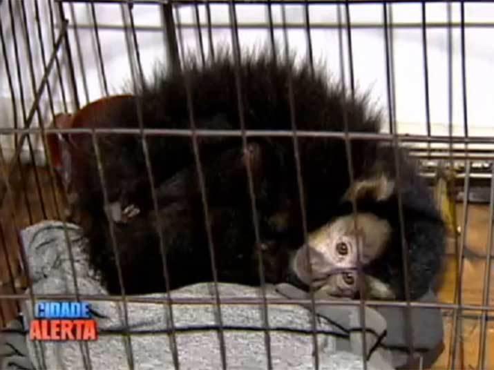 Polícia apreende macaco mantido em cativeiro por traficante no RS.o mesmo local estavam mais de 30 kg de maconha. O traficante foi preso e o macaco apreendido pela Polícia. Acompanhe!