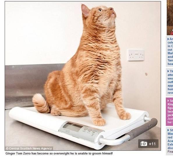 Com 63 centímetros de cintura, o 'gatinho' Zorro tem o dobro da circunferência que deveria ter. É mais gordo que o Garfield