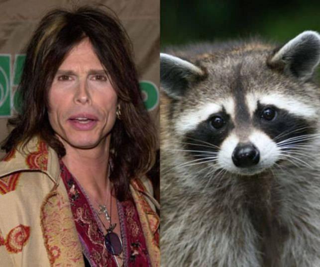 Steven Tyler, vocalista do Aerosmith, tem um guaxinim como animal de estimação+ Opine: Você teria um animal exótico em casa?