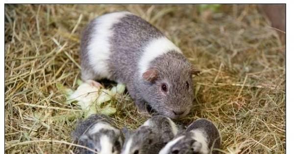 Pegador! Porquinho da índia foge de jaula e engravida 100 fêmeas ...