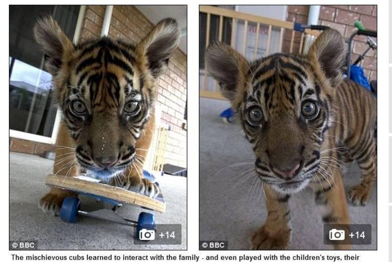 Os tigres também aproveitam os brinquedos da família e até se divertem com o skate