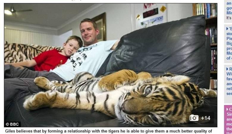 Os tigres foram adquirindo hábitos quase humanos, de subir na cama a esparramar-se no sofá da sala
