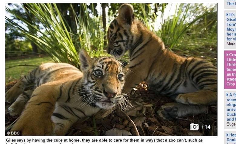 Giles e Clark são dois tigres-de-sumatra, uma das espécies mais ameaçadas de extinção