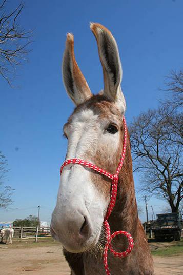 Galo Cego declarou ter um cavalo, avaliado em R$ 500, e um burro, parecido com o da foto, também de R$ 500