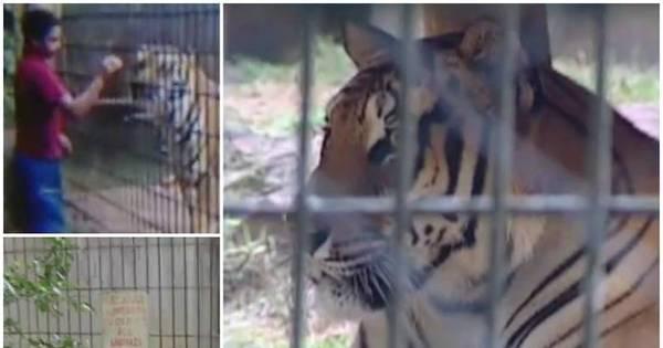 Tigre ataca menino de 11 anos em zoológico do Paraná - Fotos - R7 ...
