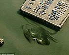 Caranguejo gigante mostra as garras em cais gringo