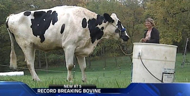 Vaca mais alta do mundo bate recorde e vai para o Guiness