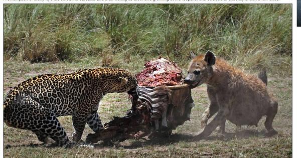 Cabo de guerra! Leopardo e hienas disputam carcaça de zebra em ...