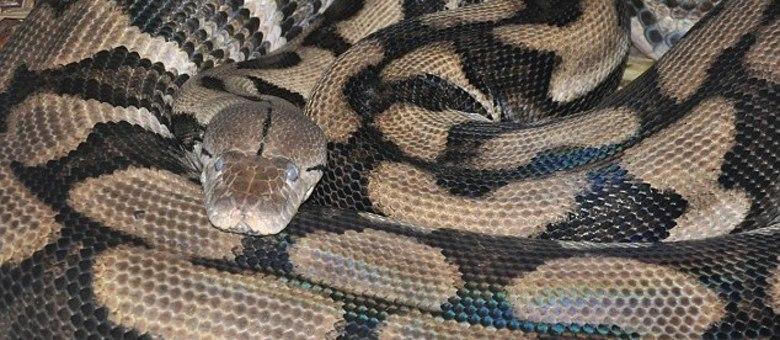 Cobra dá luz sem ter tido contato com macho