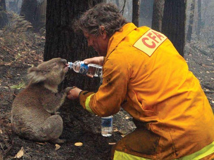 Os incêndios florestais conhecidos como 'Sábado Negro' foram o pior desastre natural que já aconteceu na Austrália.Um dos bombeiros que tentava conter o fogo encontrou um pequeno coala, no meio da devastação, e depois de levá-lo para uma área longe do fogo, deu água para hidratar o animal